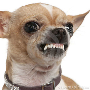 close-up-angry-chihuahua-growling-2-years-old-15126199