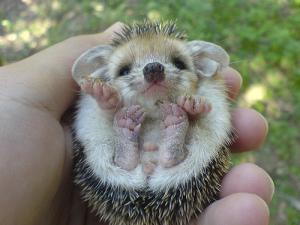 baby-porcupine-31
